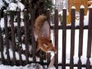 Fuchs in Not